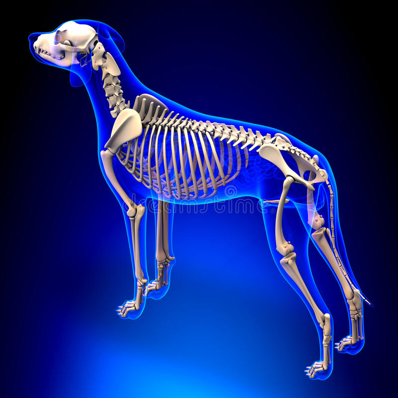Hundskelett - Canis Lupus Familiaris Anatomy - perspektivsikt royaltyfri illustrationer