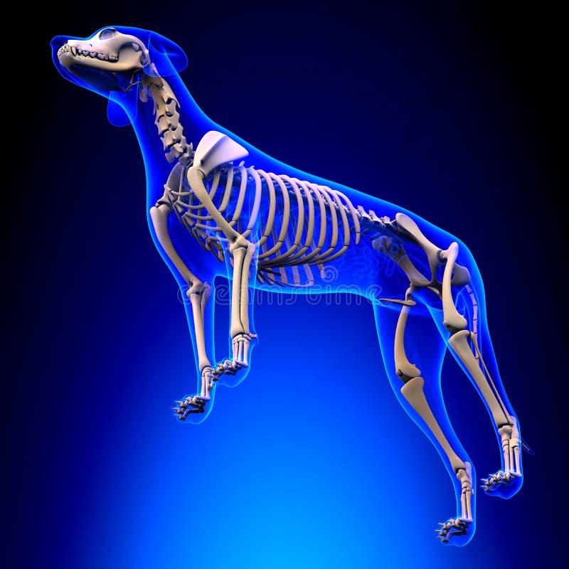 Hundskelett - Canis Lupus Familiaris Anatomy - perspektivsikt royaltyfria bilder