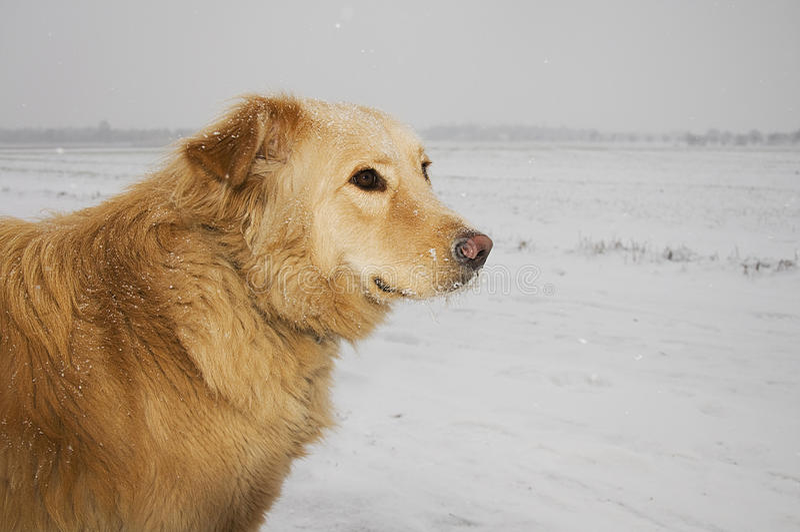 hundsnowstorm arkivfoton