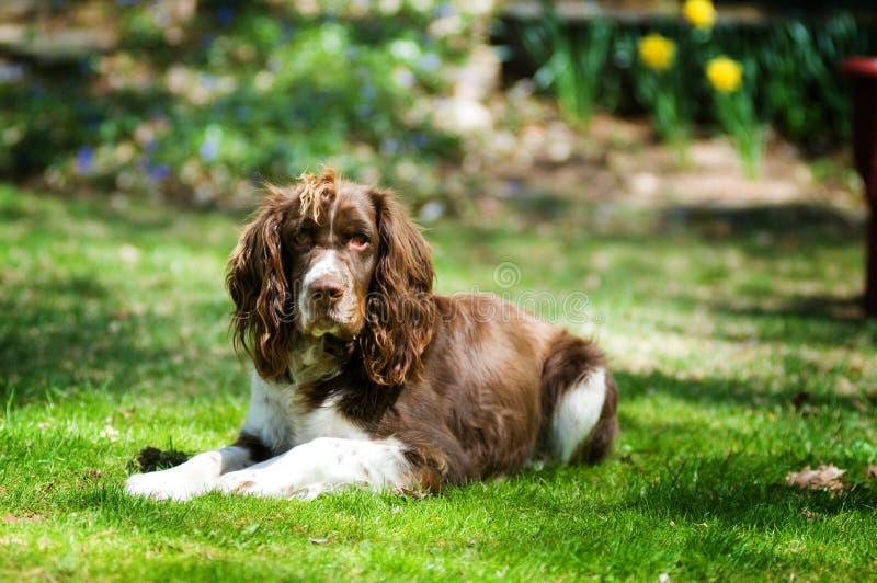 hundspaniel royaltyfri fotografi