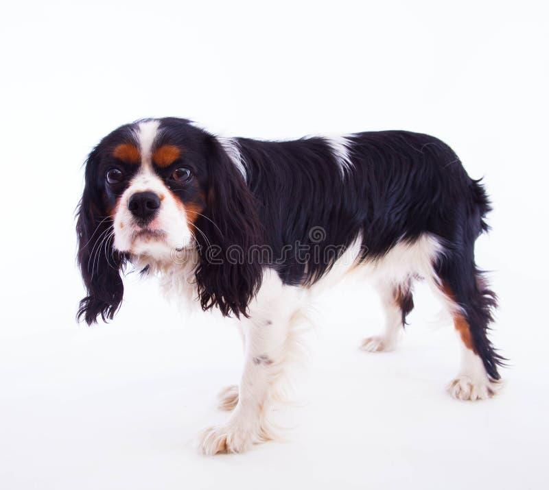 Hundspaniel fotografering för bildbyråer