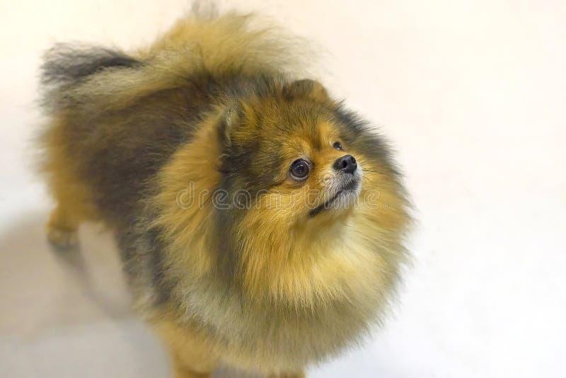 HundSpitznärbild arkivfoton