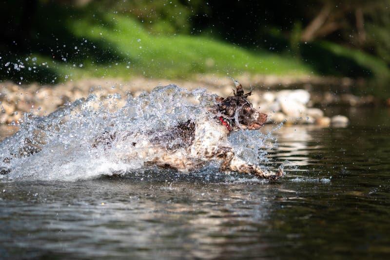 Hundspring i vatten - Springerspaniel royaltyfria foton