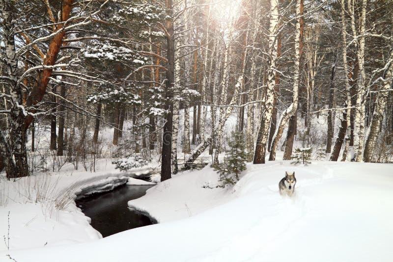 Hundspring i vinterskog arkivfoto