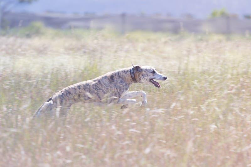 Hundspring till och med fält arkivfoton