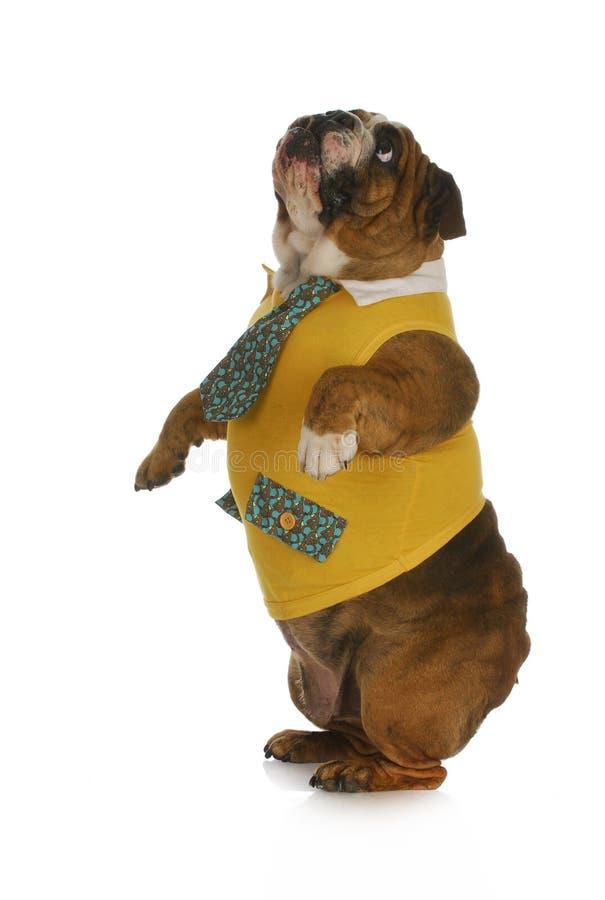 Hundstanding fotografering för bildbyråer