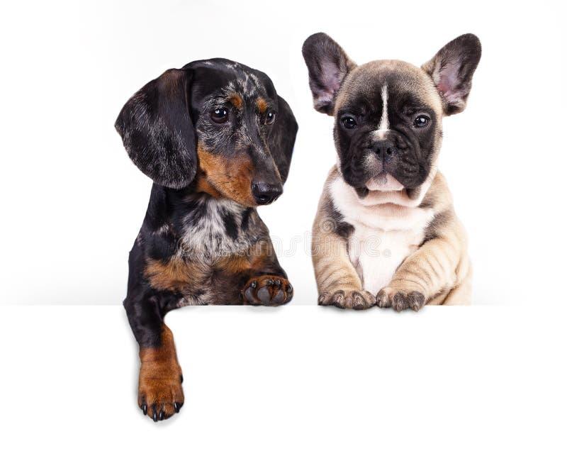 Hundtax och fransk bulldogg royaltyfri bild