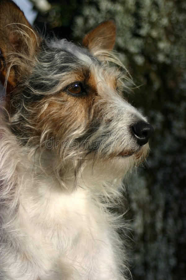 hundterrier royaltyfria foton