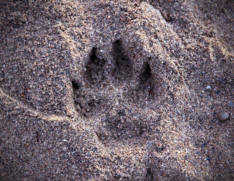 Hundtryck i sanden arkivbild