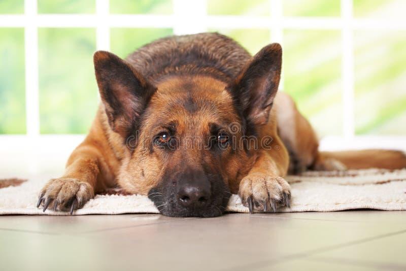 hundtysk som lägger herden royaltyfria foton