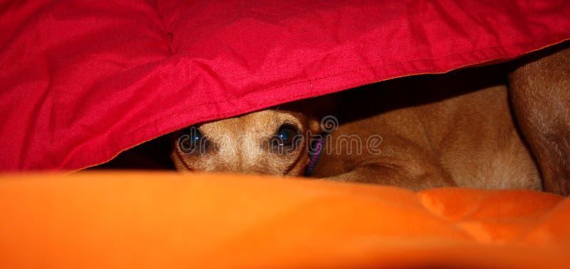 Hundvalpen döljer i värmen mellan filtarna av hans hus på en vinterdag royaltyfria bilder