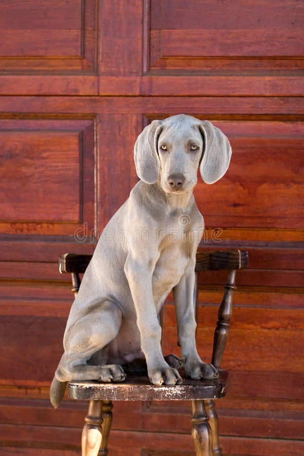 Download Hundweimaraner arkivfoto. Bild av hundar, följe, guard - 975526
