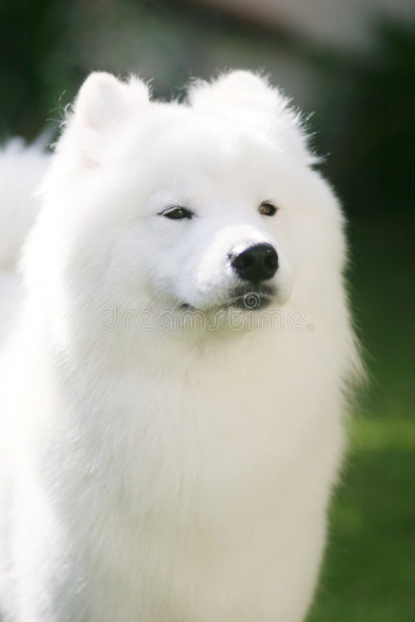 Hundwhite Arkivfoto