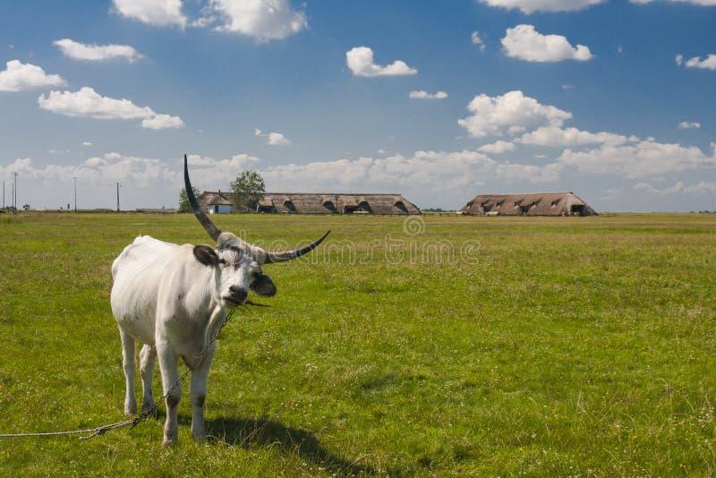 Hungarian cinzento húngaro do gado: O ` de Szurke do Magiar do `, igualmente conhecido como o gado húngaro do estepe, é uma raça  fotografia de stock royalty free