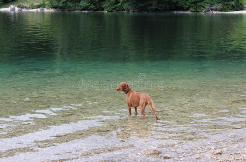 Hungarian deerhound fotografia royalty free