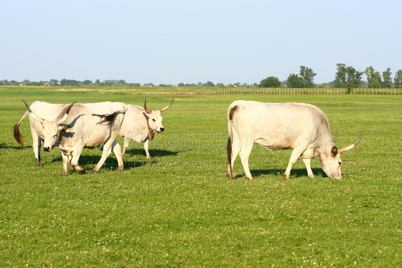 Hungarian grey cattle. In field royalty free stock photo