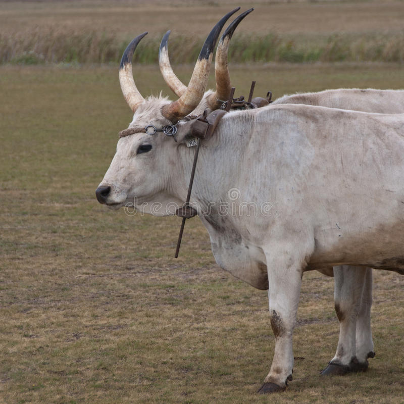 Download Hungarian grey cattle stock image. Image of domesticated - 23651587