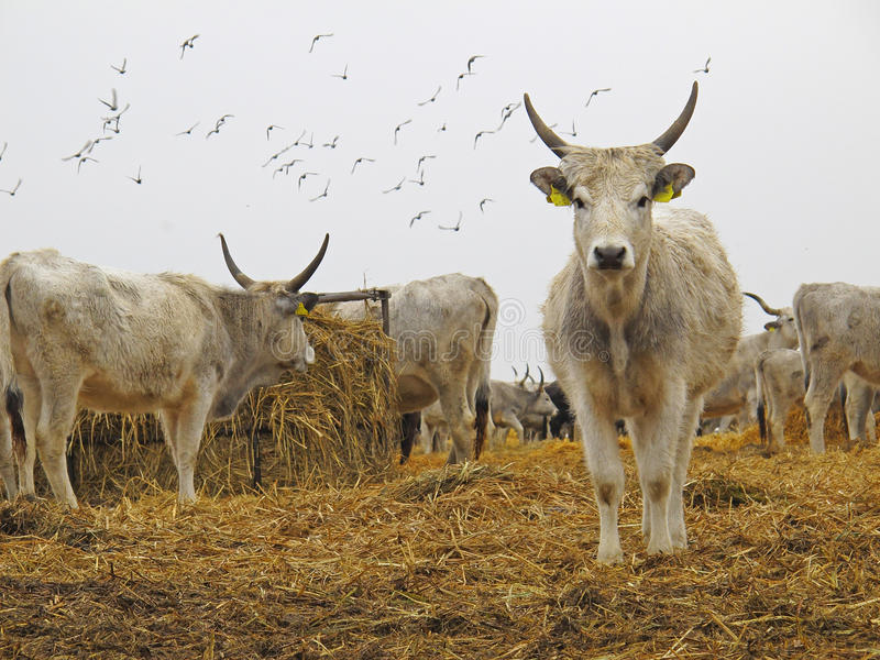 Hungarian Grey Cattle. Or Hungarian Steppe Cattle (in Hungarian: Magyar szürke szarvasmarha) are an old beef cattle breed from Hungary. The breed belongs to stock images