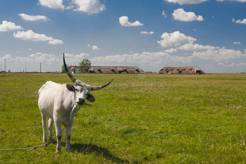 Hungarian Grey cattle Hungarian: `Magyar Szurke`, also known as Hungarian Steppe cattle, is an ancient breed of royalty free stock photography