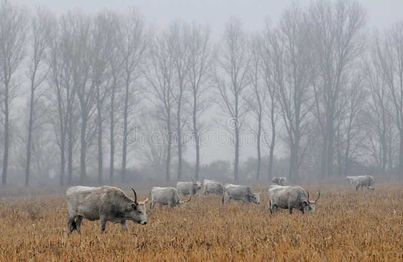 Hungarian grey cows in a field royalty free stock photography