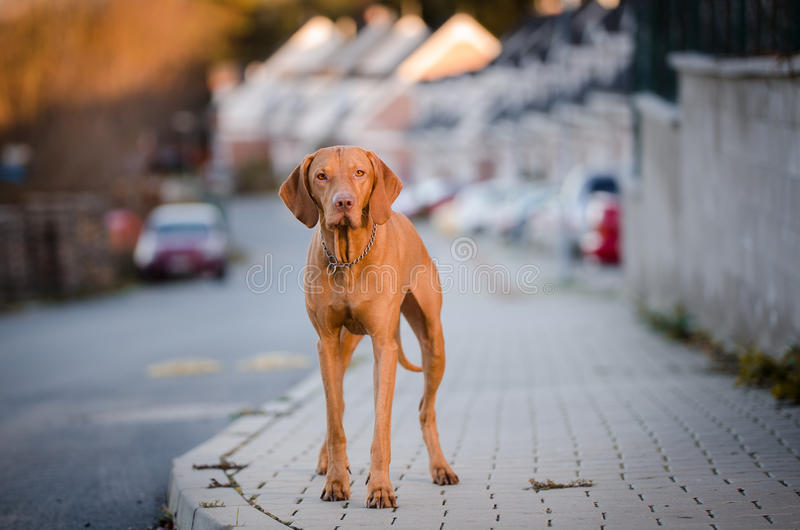 Hungarian hound dog in the city. Portrait of hungarian hound dog in the city royalty free stock photos