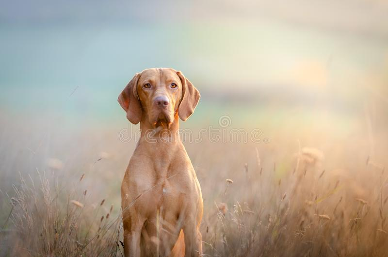 Hungarian hound pointer vizsla dog in autumn time in the field. Portrait ofHungarian hound pointer vizsla dog in autumn time in the field stock photo