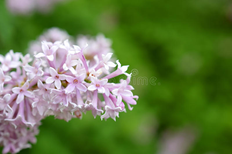 Hungarian lilac Syringa josikaea. Close up of flowering Hungarian lilac Syringa josikaea. Green blurred background royalty free stock photography