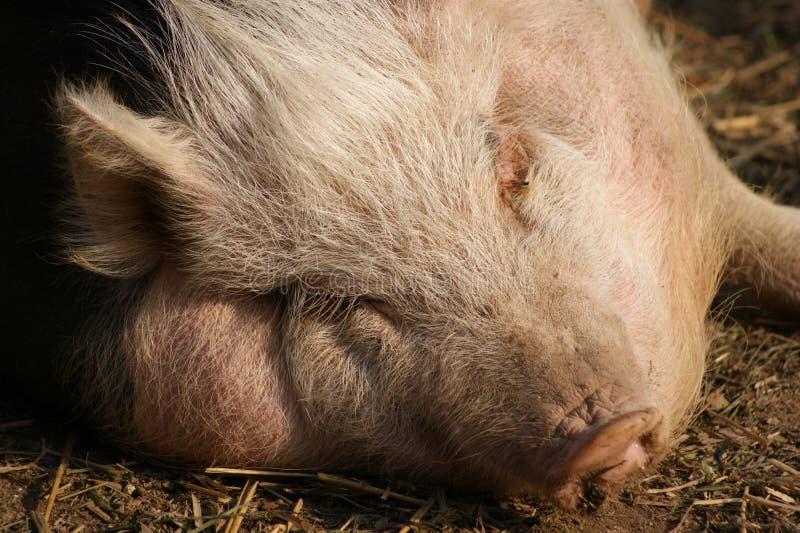 Hungarian Mangalitsa Pig Royalty Free Stock Image