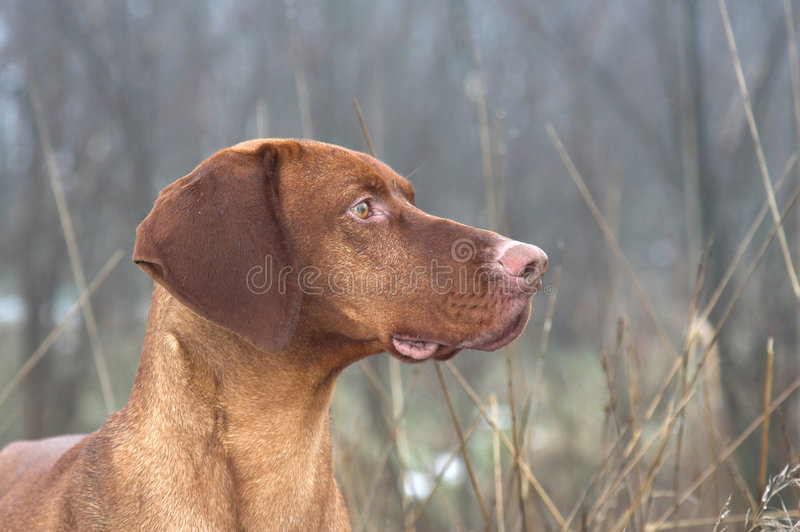 hungarian pointer obrazy stock