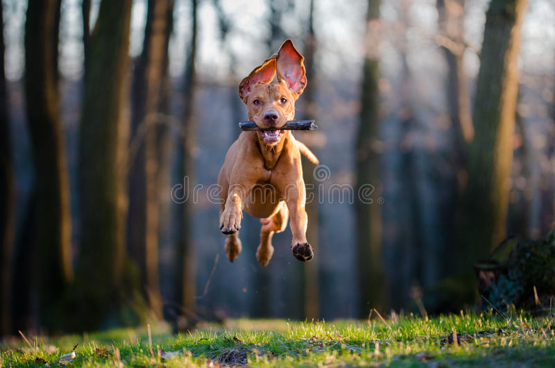 Hungarian pointer hound dog. Flying Hungarian hound dog in forrest in spring time stock image