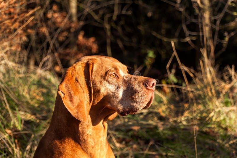 hungarian pointer Jesień myśliwy Szczegół psia głowa Łowiecki pies Vizsla obrazy stock