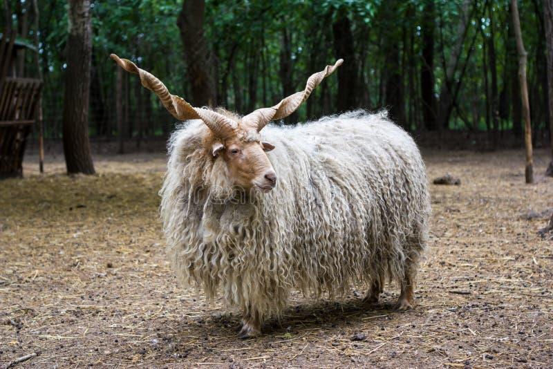 Hungarian 'racka' sheep stock photography