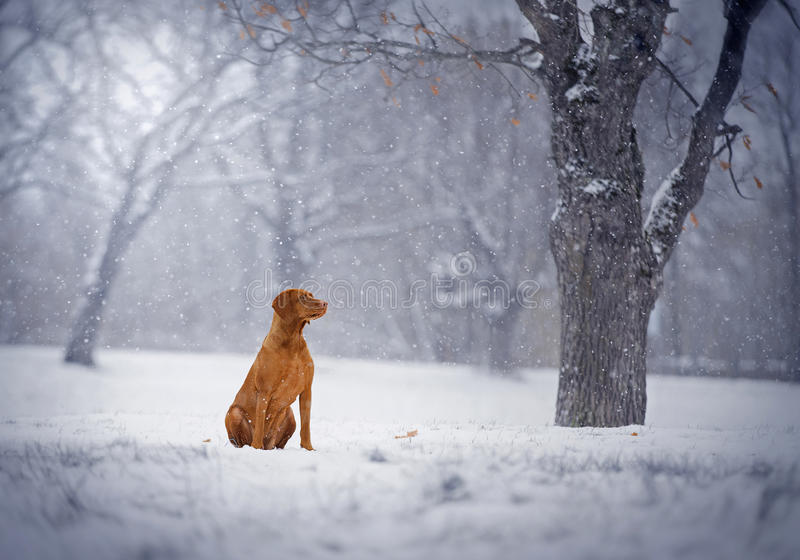 Hungarian Short-haired pointer Magyar Vizsla. In winter trees stock images