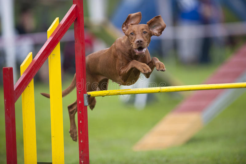 Hungarian Vizla jumping over yellow hurdle on agility competition recreation. Hungarian Pointer Viszla jumping over yellow hurdle on agility competition. He has royalty free stock photos