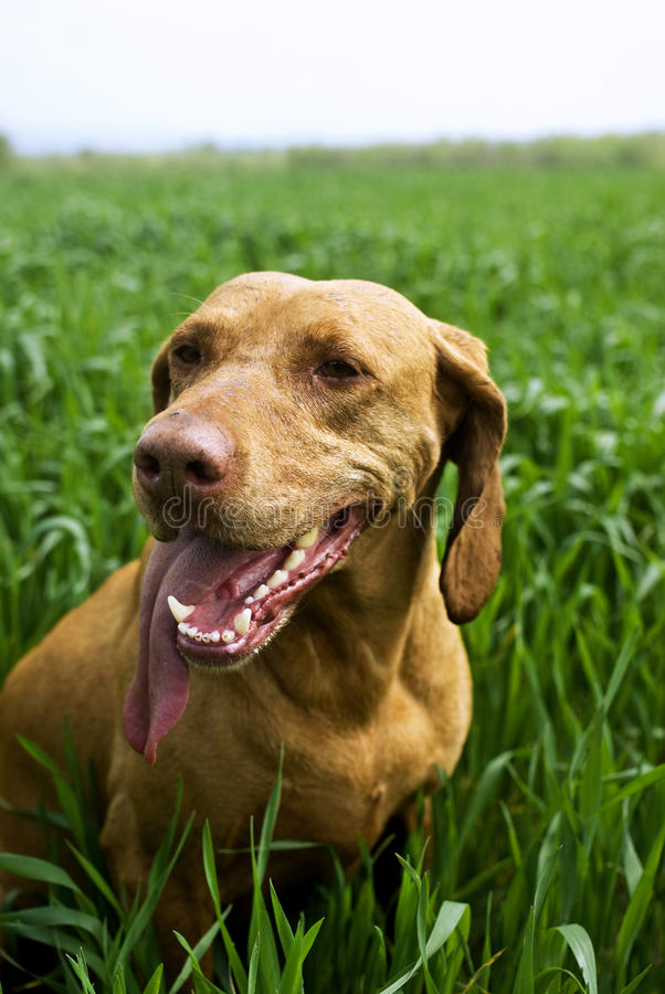 Hungarian Vizsla. Hunting dog standing in the grass stock images