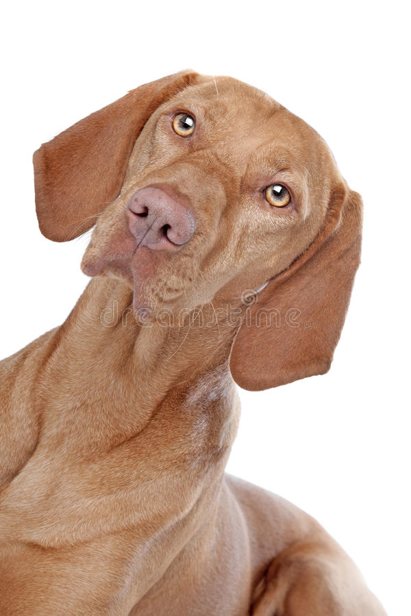 Download Hungarian Vizsla stock photo. Image of hunting, isolated - 24387076