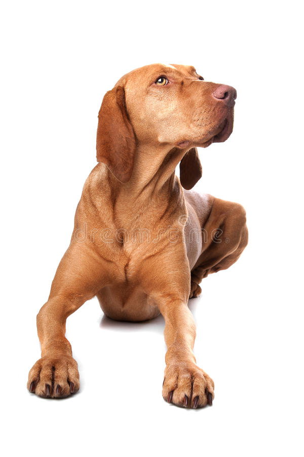 Hungarian Vizsla. In front of a white background stock photography