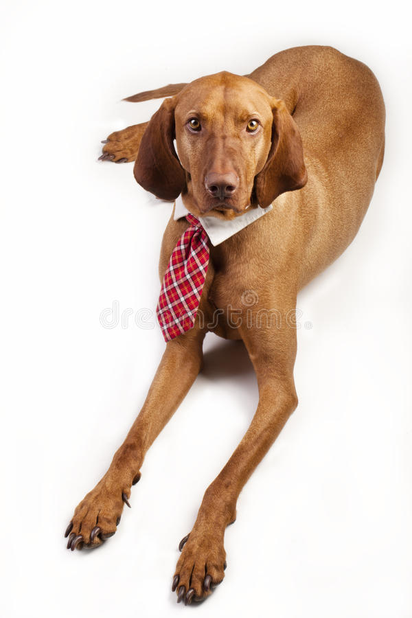 Hungarian Vizsla in Business Tie. Hungarian Vizsla dressed in a collar and business tie, lying down looking at camera royalty free stock images
