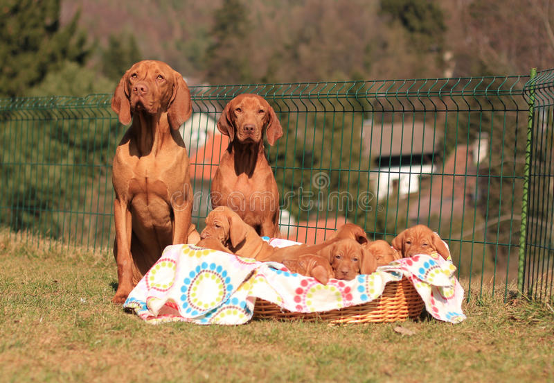 Hungarian Vizsla couple. With puppies stock photos