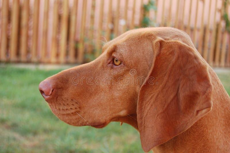 Hungarian Vizsla dog. Female hungarian vizsla hunting dog profile stock images