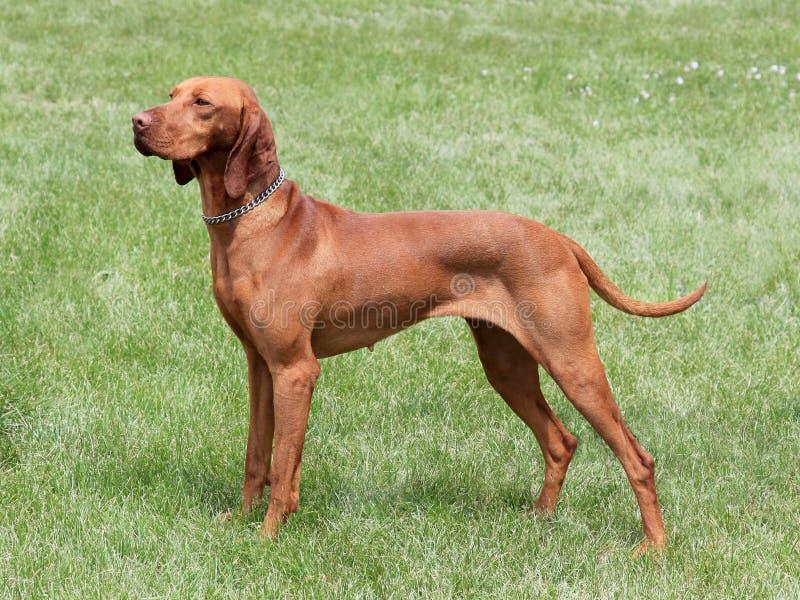 Hungarian Vizsla dog. HungarianShort-haired Pointing Dog on the meadow - Hungarian Vizsla stock images
