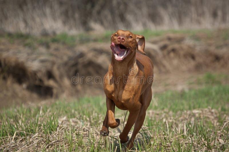 Hungarian Vizsla Dog in Grassy Field. A Hungarian Vizsla dog runs through a grassy field in the spring royalty free stock photos