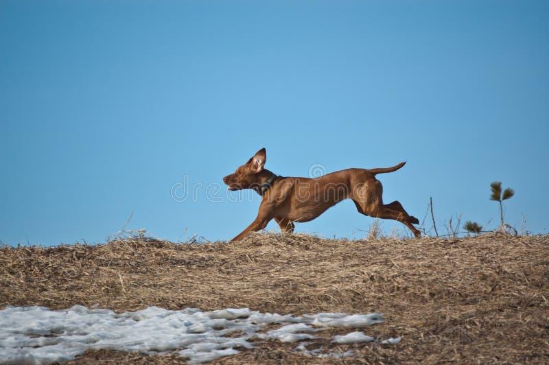 Hungarian Vizsla Dog Running across a Ridge. A Hungarian Vizsla dog runs across a ridge in winter royalty free stock photography
