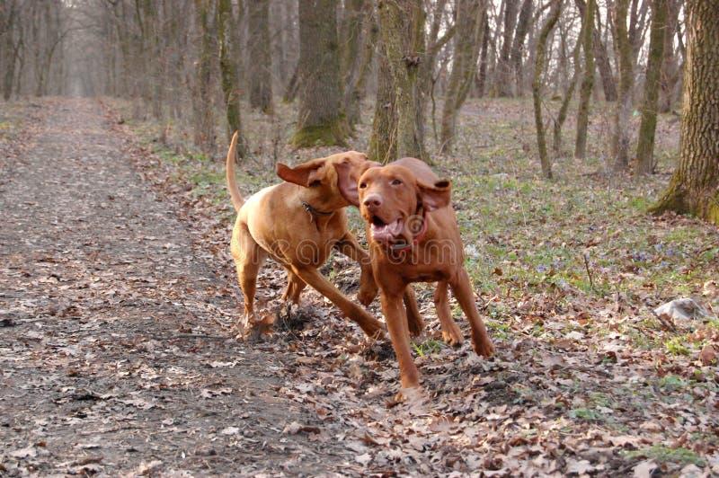 Hungarian vizsla playing. Hungarian vizsla hunting dogs playing stock photo