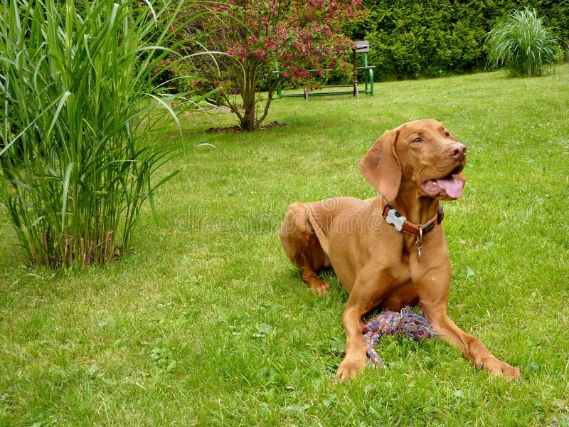 Hungarian vizsla. Playing in his garden stock photography