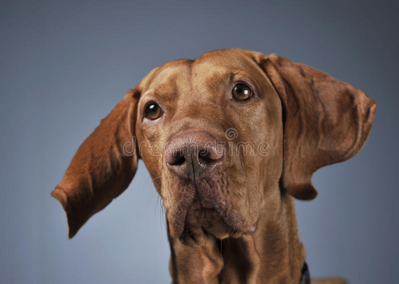 Hungarian vizsla portrait with flying ears in dark background. Hungarian vizsla lying in a dark background and turning his head stock images