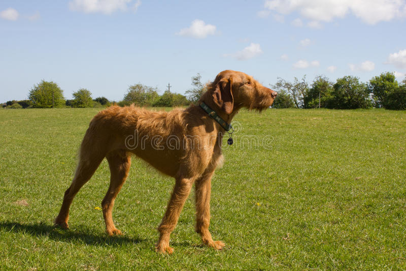 Hungarian Vizsla in a proud stance. Surrounded by green fields, and blue sky stock photography