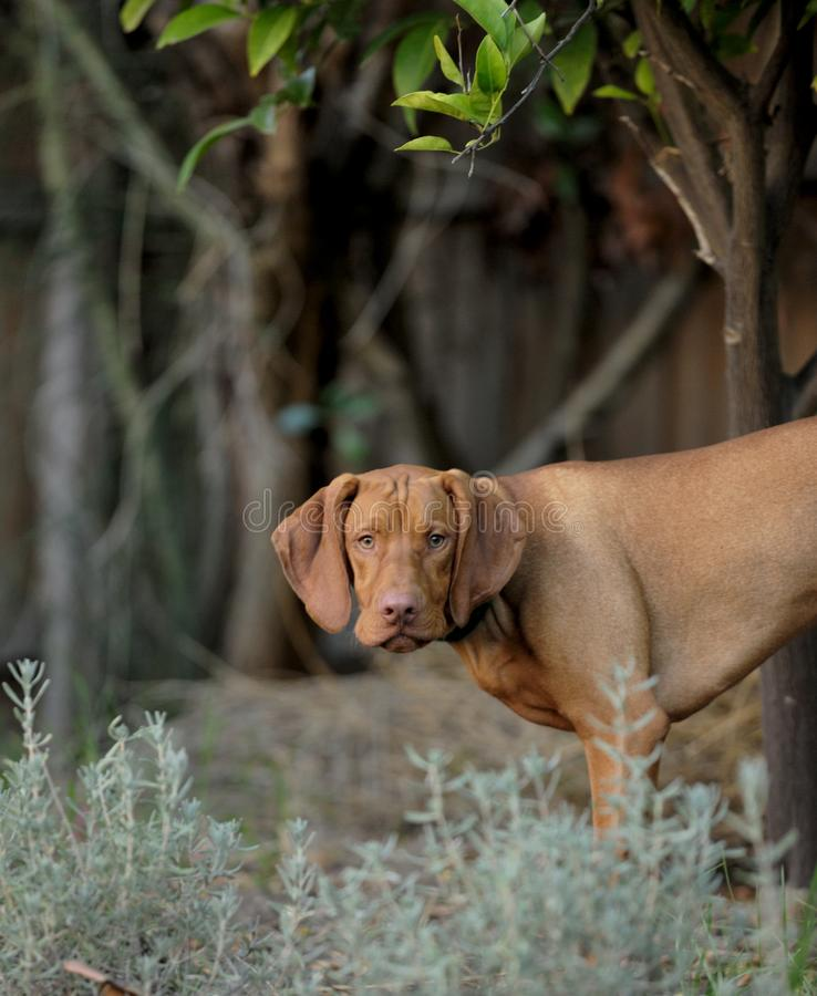 Hungarian Vizsla Puppy. Looking into Distance royalty free stock photography