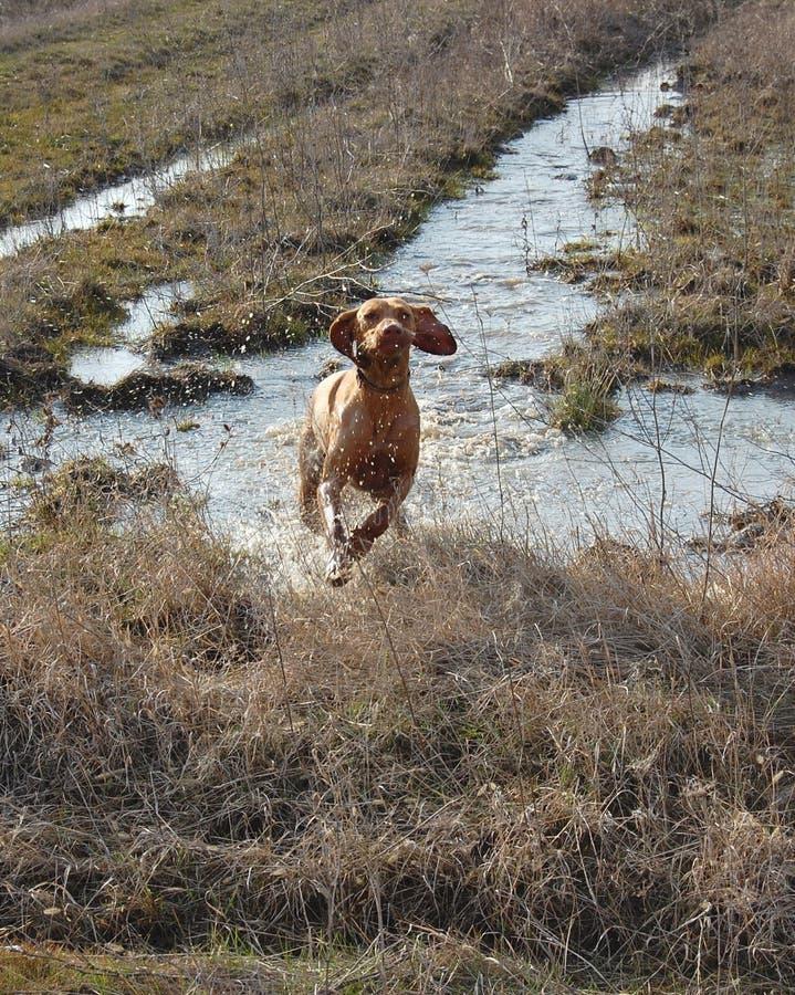 Hungarian vizsla running. Hungarian vizsla hunting dog running trough water in the field royalty free stock image