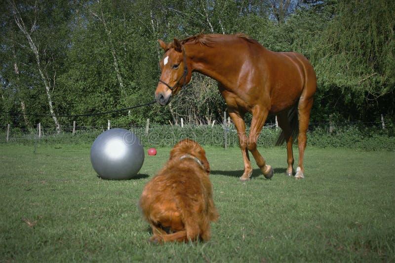Hungarian Vizsla watches a Danish Warmblood. Hungarian Vizsla Canis lupus familiaris watches a Danish Warm blood Equus ferus caballus Horse being Pirelli trained stock image